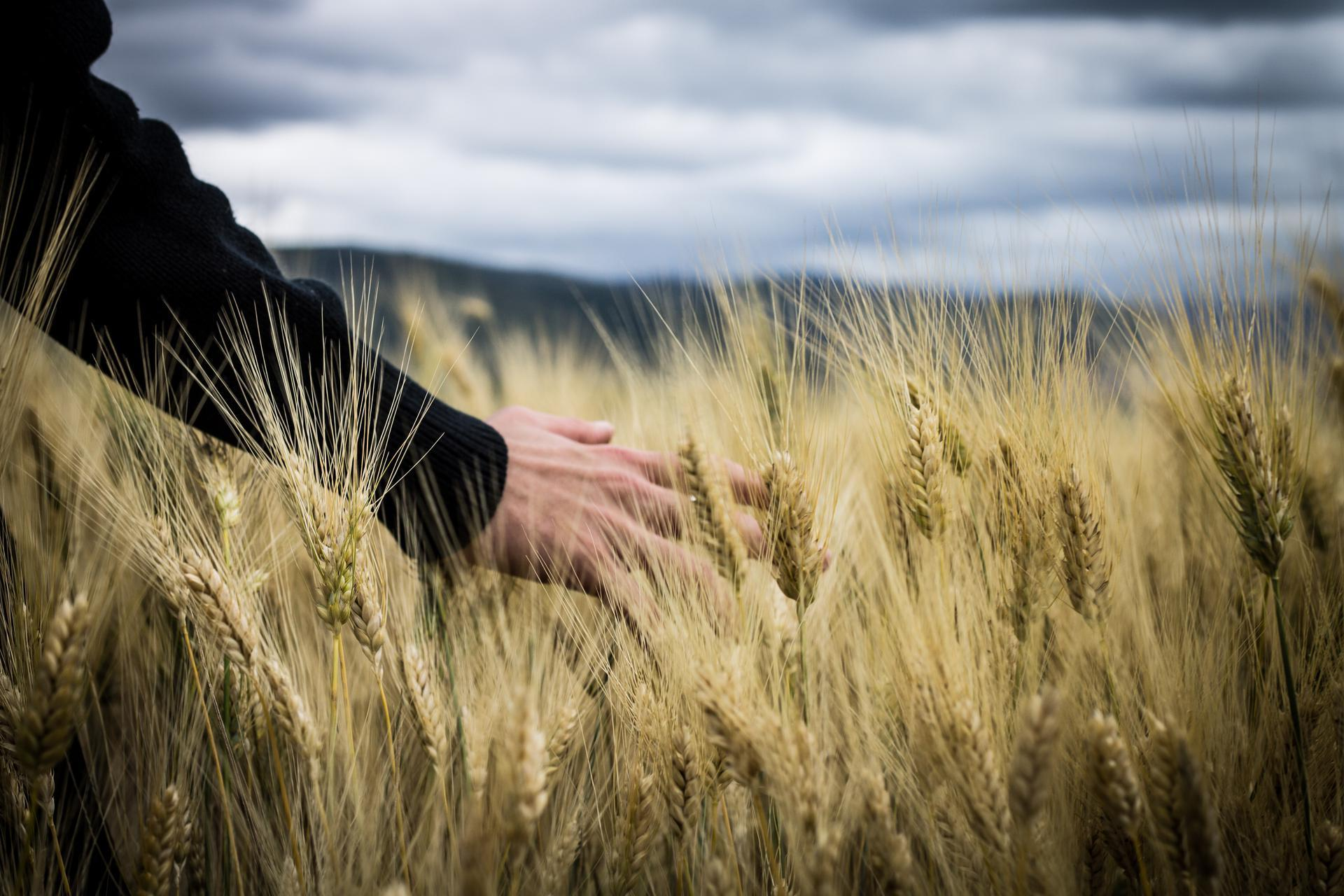 Wheat-Hand